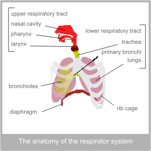 The upper & lower track. The physiology of the respiratory system.