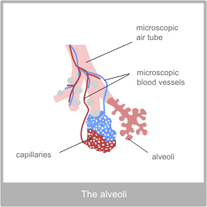 The Aveoli.The pysiology of the respiratory system
