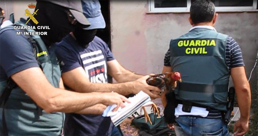 Trece detenidos por la celebración clandestina de peleas de gallos en Tordesillas