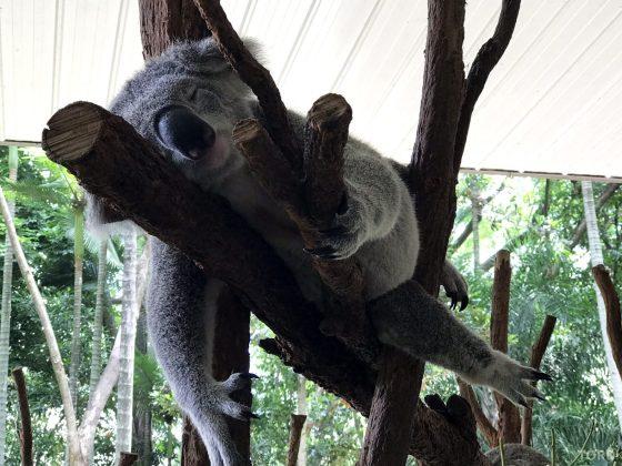Lone Pine Koala Sanctuary Cruise koala i tre