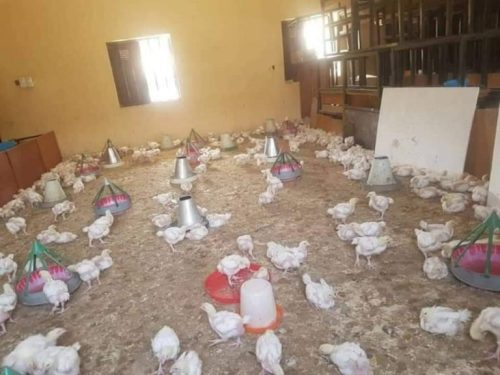 poultry1 - Too Dangerous! Faculty Classroom Turned Into Poultry Farm In Borno (Photographs)