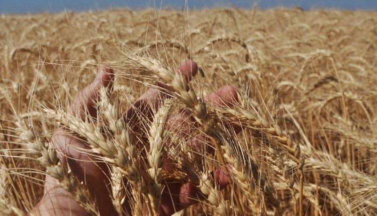 Se viene una gran cosecha para el trigo y la cebada en nuestra zona