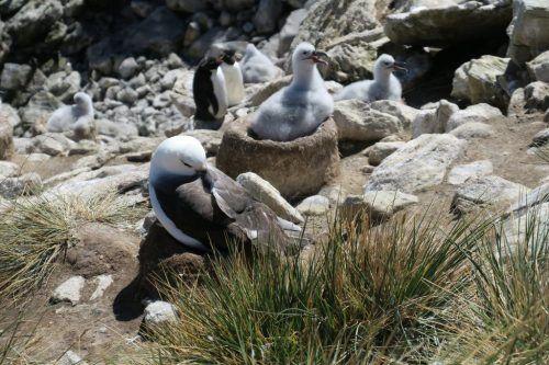 Falklandinseln - Albatrosse