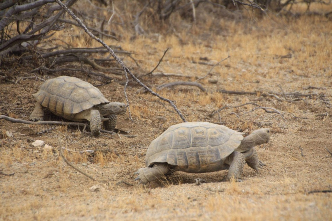Mojave Desert Tortoise (California), photo by Dana Wilson, BLM.
