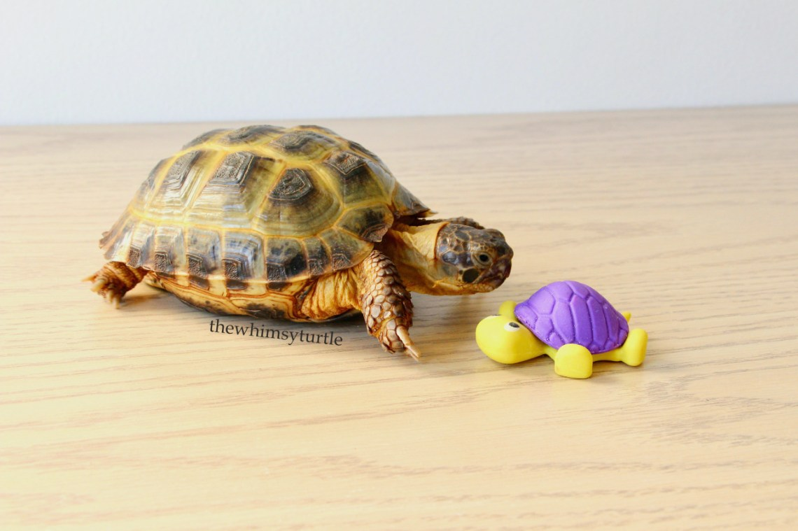 Purple shell is okay for my new friend because he doesn't need UVB, unlike me!