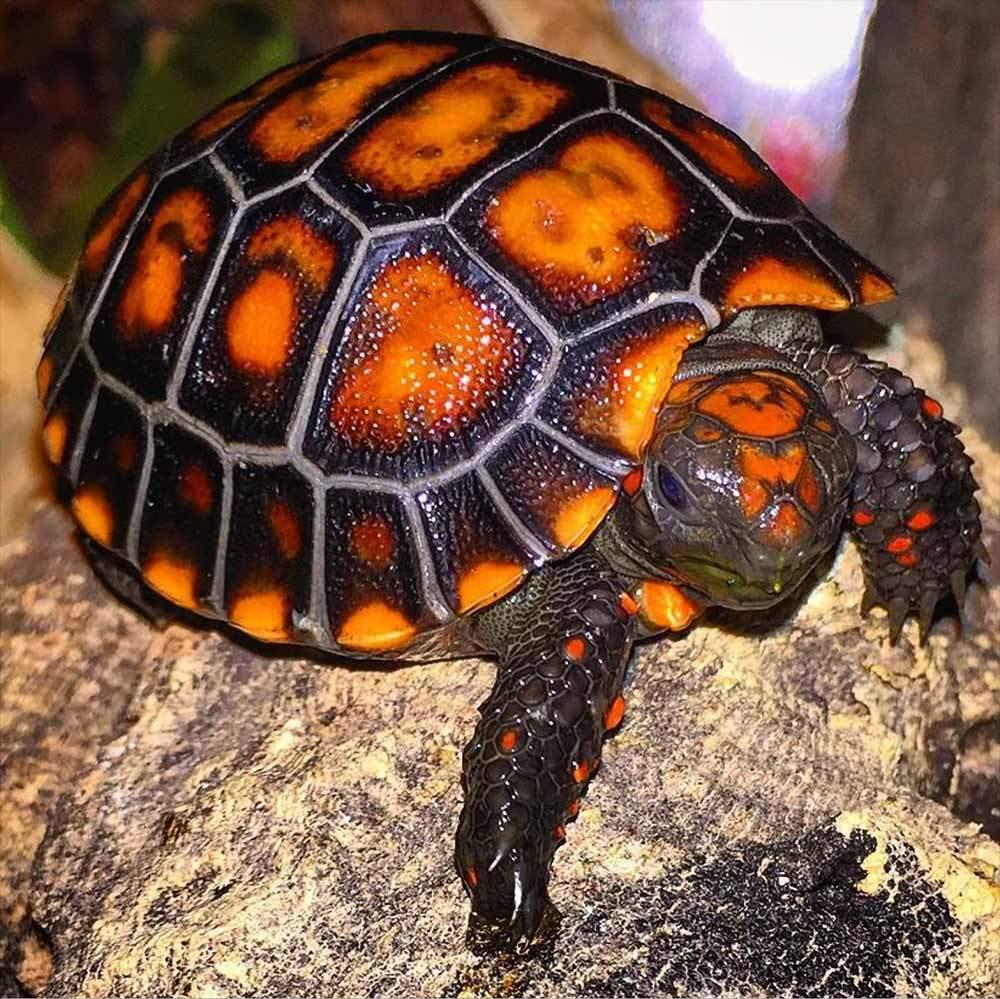 cherry head tortoise for