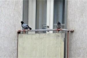 Due piccioni, e in mezzo il virus
