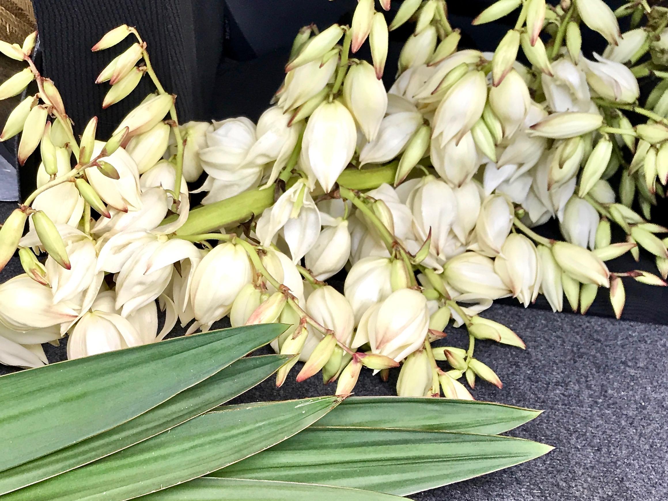 Yucca gloriosa7