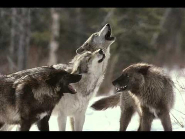 Πως Μερικές δεκάδες λύκοι μεταμόρφωσαν το περιβάλλον και άλλαξαν ένα ολόκληρο οικοσύστημα; Η ανάπλαση της Φύσης στο Yellowstone Park [Video]
