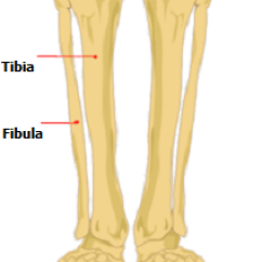 Diagram Of Tibia Stress Fracture 4 Pin Relay Switch Wiring Lower Leg Pain After Exercise | Total Health