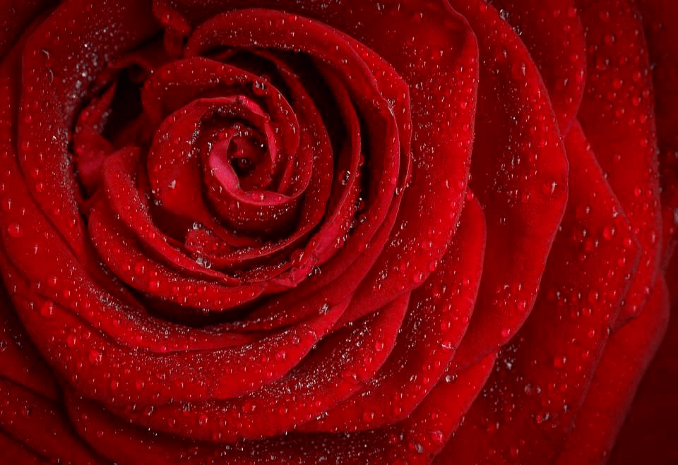 The Many Meanings Of Different Colors Roses
