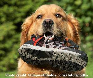 A Golden Retriever with a shoe in their mouth