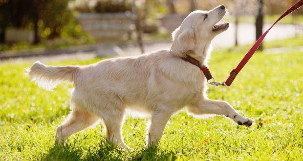 A golden retriever being led on a leash