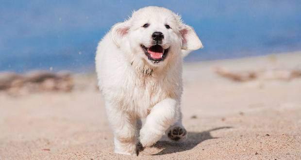 Golden Retriever puppy running toward camera on a sandy beach