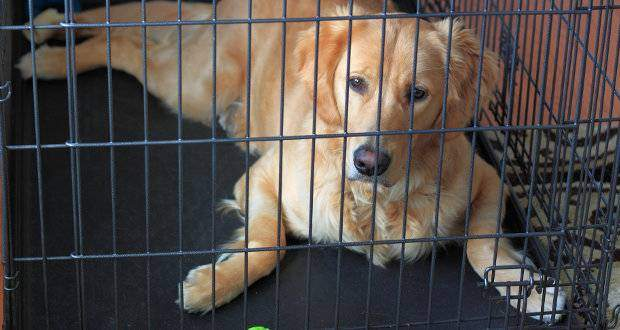 Crate training a Golden Retriever dog or puppy - A GR laying in a crate