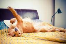 Golden retriever lying on bed on his back