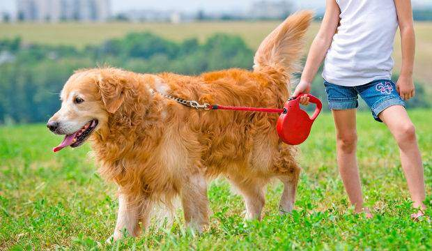 leash training your golden
