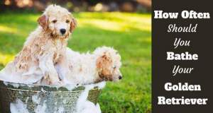 2 golden retriever puppies in a bath on grass