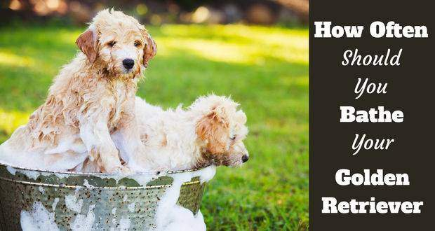 2 golden retriever puppies in a bath on grass