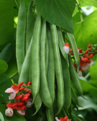 Runner Bean Tenderstar