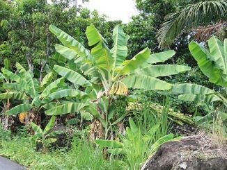 taiwan bananas