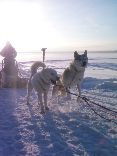 sled-dog