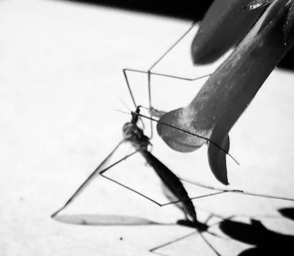 טוטם יתוש ענק