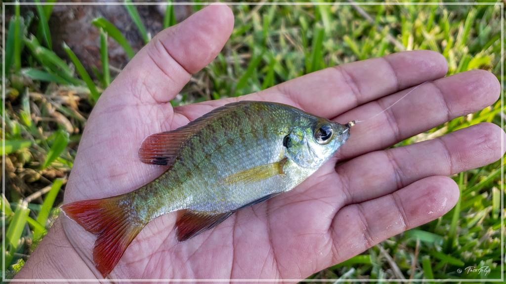 Pesca Blugill en Miami