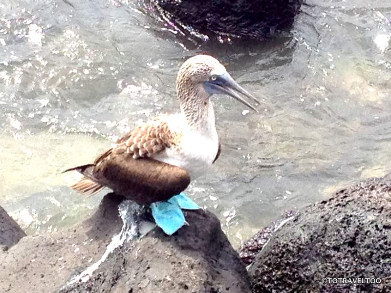 Blue Footed Boobie of the Galapagos Islands
