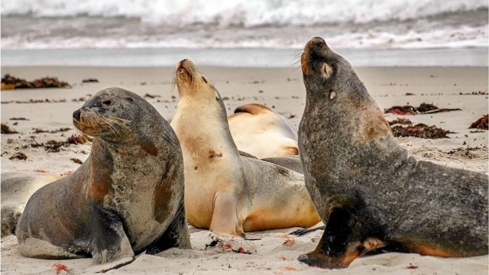 Sea Lions of Port Lincoln