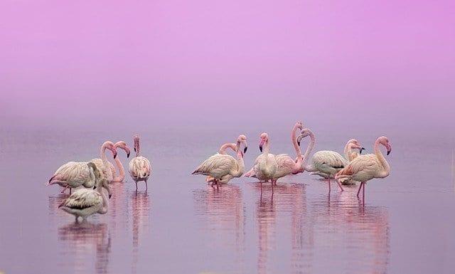 Pink flamingos of Celestun