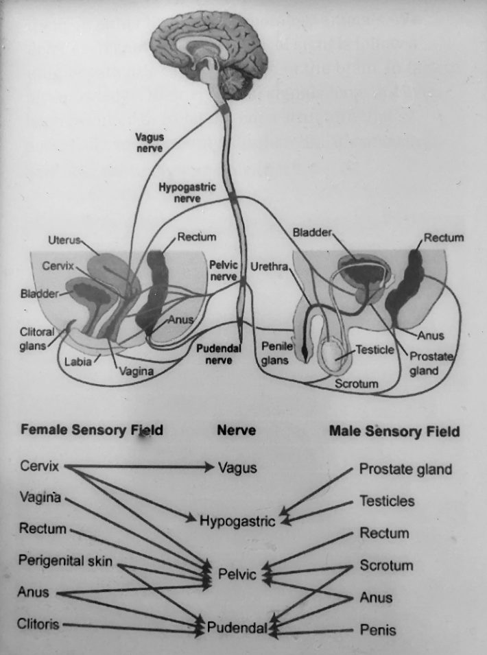 Sensory nerves that innervate in the pelvis and genitals