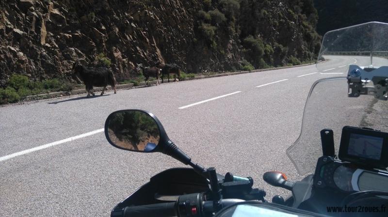 tour-corse-moto-chèvres