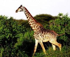 Eine Giraffe durchstreift die Savanne in Tansania, Afrika
