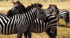 Eine Herde Zebras in Tansania, Afrika