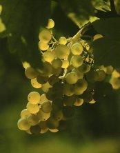 Weinburgunder Trauben