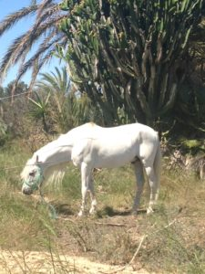 White horse  Los Montesinos