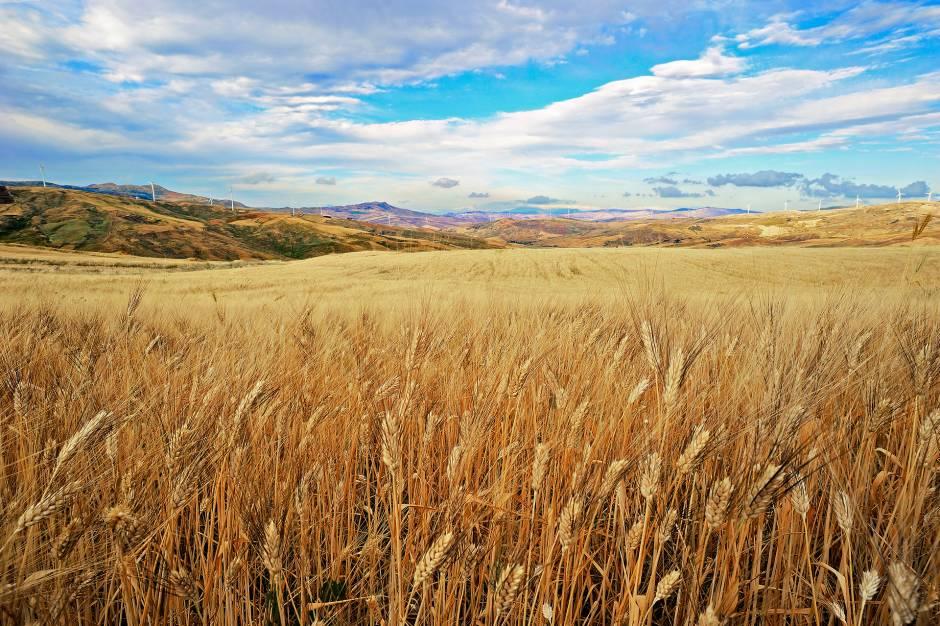 Campo di grano  Concorso fotografico I paesaggi del cibo