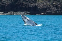 Whales In Whitsundays
