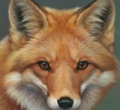 Fox, Burlington Wildlife
