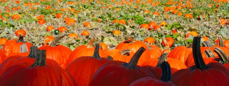 Pumpkins on the Farm in the Fall