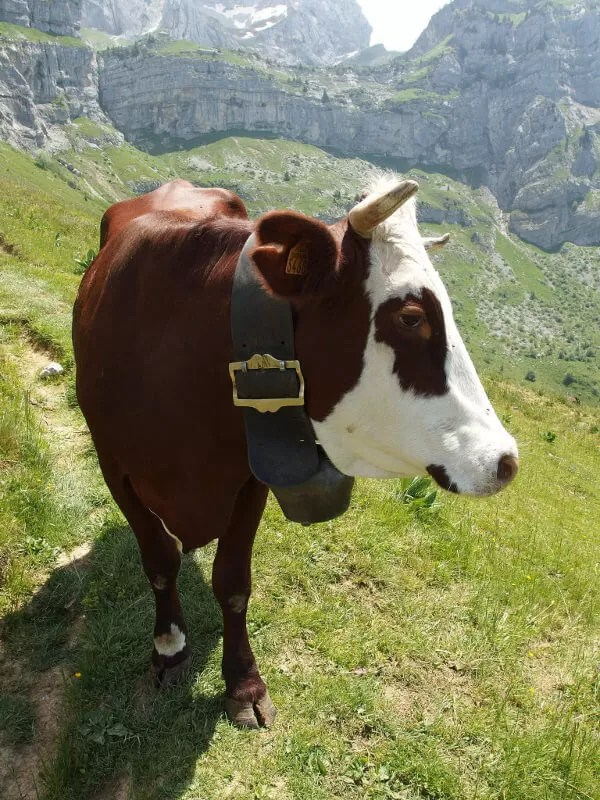 Les animaux d'élevage de Haute-Savoie