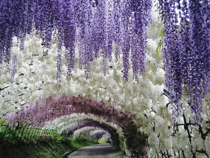 Wisteria Tunnel, Kawachi Fuji Garden (1)