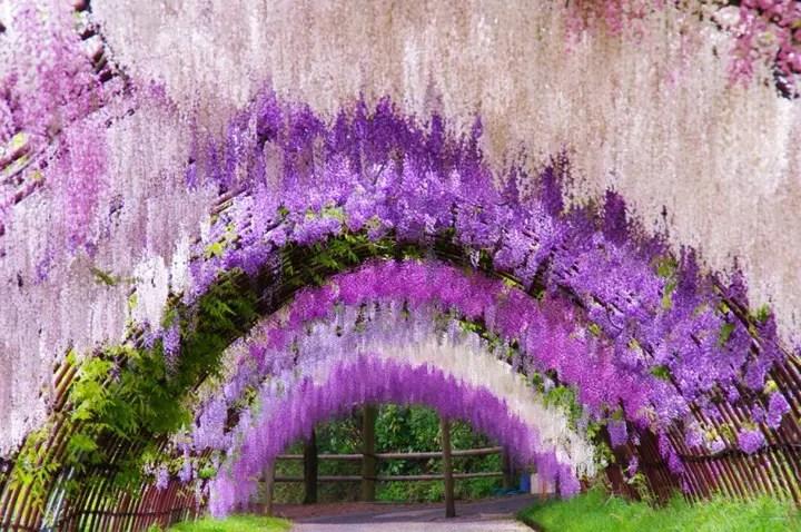 Wisteria Tunnel, Kawachi Fuji Garden (7)