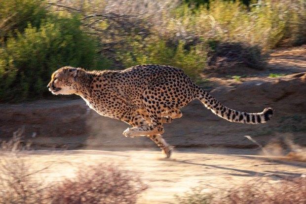 A cheetah running at full speed