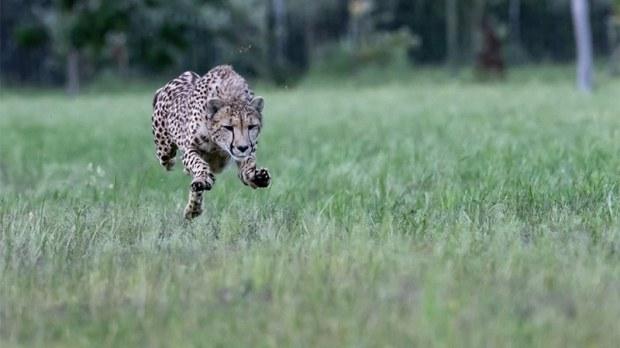 Cheetah run at Ashia Sanctuary