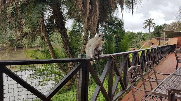 Vervet monkey at San Lameer Hotel