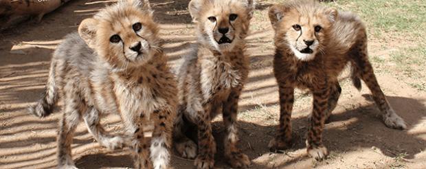 cango-wildlife-ranch-cheetah