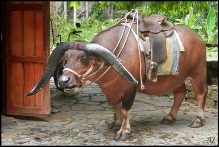 Cuba, Vinales, campagne, boeuf, animal