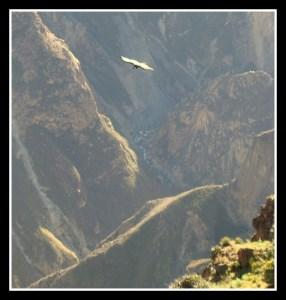 Cruz del Condor, ornithologie, condor, Pérou, Ande, Canyon Colca, voyage